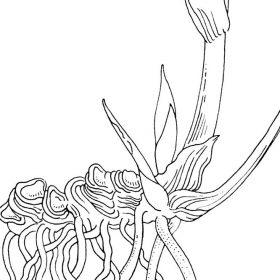 Strichbild-für-Botanik-WURZEL-blackwhite