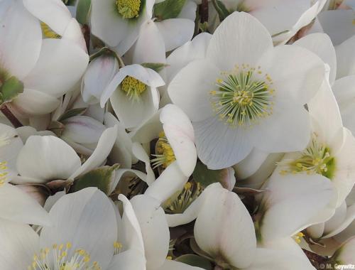 Blüten dicht an dicht (1)