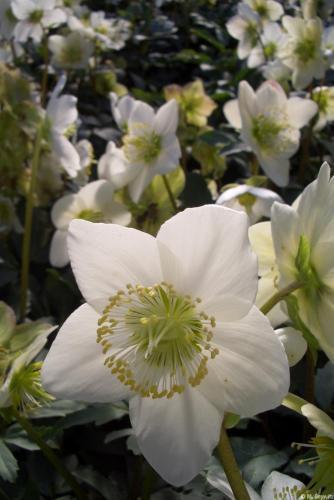 Blütenmeer H17 1-07) (9)
