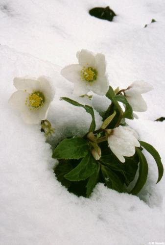 Christrosen im Schnee-Kasten 2004 Krauth 3
