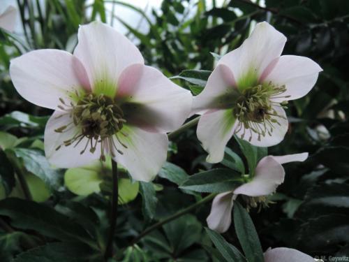 Gegenlichtblüte Lenz (2)