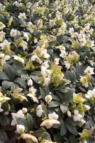 Massenblüte Amika H14 -11-07 (4)