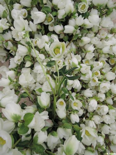 Massenblüten von oben 2014 (1)